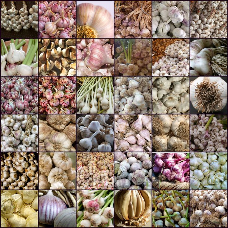 Different Types of Garlic and Its Benefits