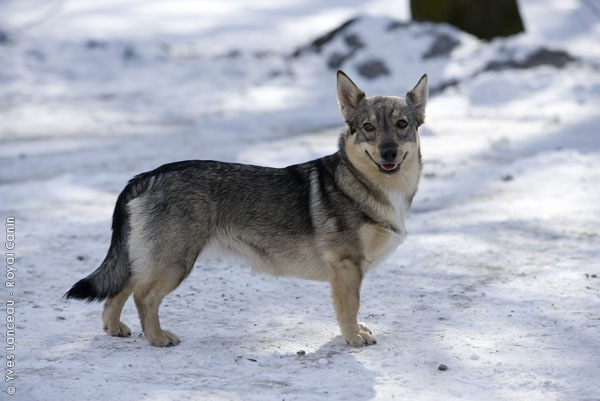 Mixers Mixers Vicking Vs Wolf ~ Best swedish vallhund images on pinterest doggies