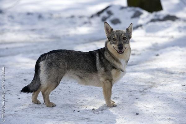 Swedish Dog Like Corgi