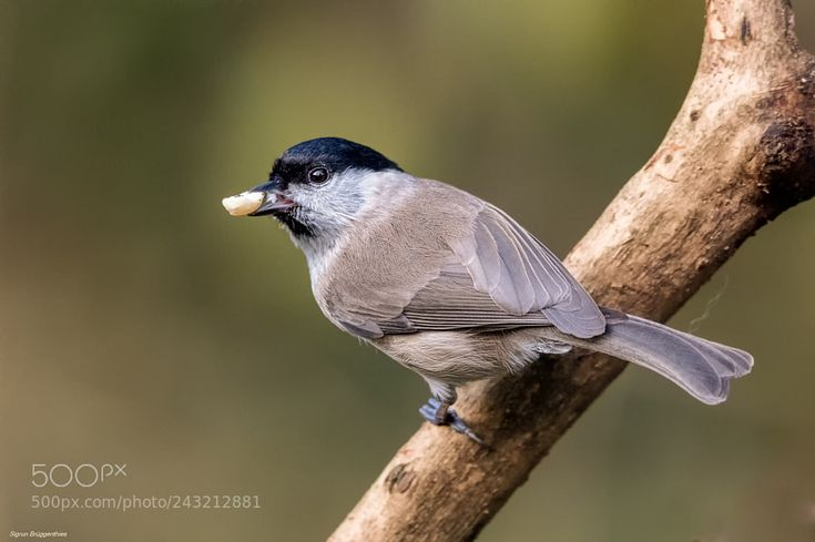 Sumpfmeise/Marsh Tit: Thanks for the Nut! by SigrunBrueggenthies