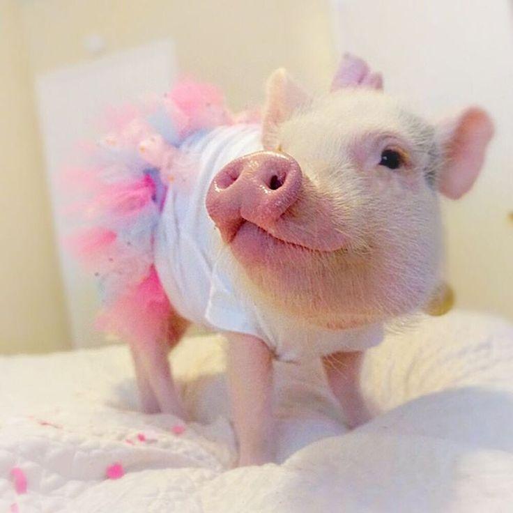 Teacup Pigs Christmas