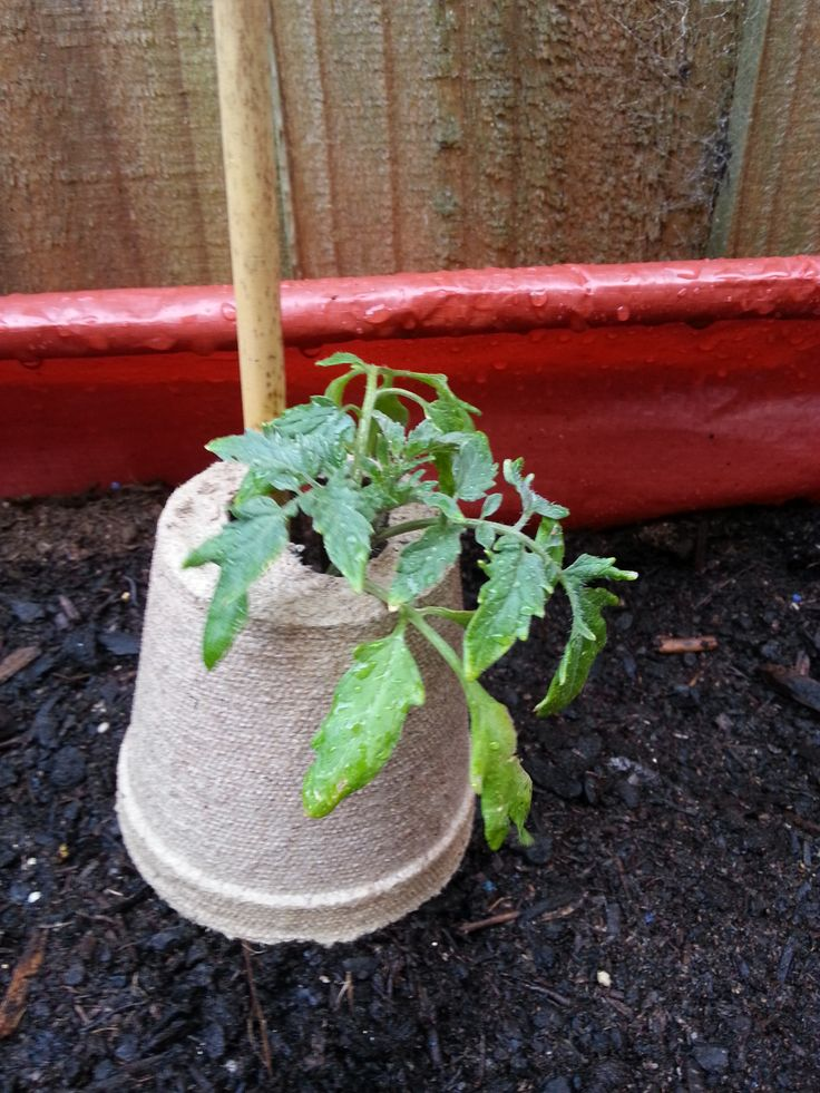 To get your seedlings off to a strong start - protect them in eco pots - by cutting a slit up the side of the pot, and a hole in the bottom, and pop it upside down in the soil.