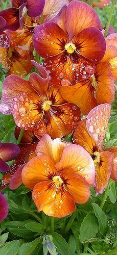 Pansies in the rain                                                                                                                                                      More