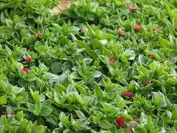 Aptenia cordifolia x 100  Done
