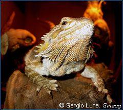 Iguania - Comunidad de animales exóticos || Fichas y artículos: Dragón barbudo común (Pogona vitticeps)