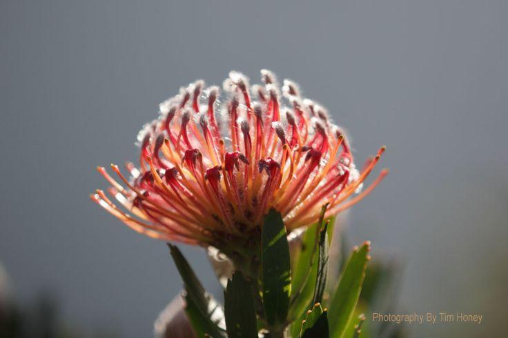 Scarlet Ribbon (Leucospermum glabrum) at Kirstenbosch Cape Town [43008]  www.timhoney.co.za www.timhoney.co.za/contact/ www.timhoney.co.za/buy-prints/
