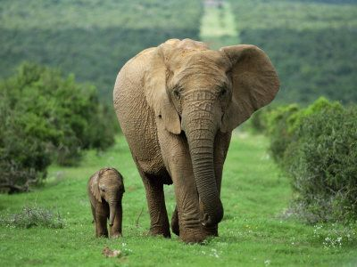 Mother and calf on a walk  african elephant (loxodonta africana)  Addo National Park, South Africa