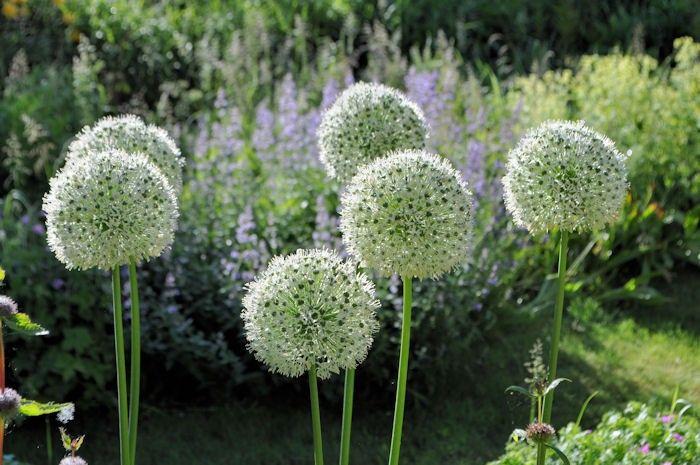 Allium 'Mount Everest' - website met veel keus & leuke prijsjes