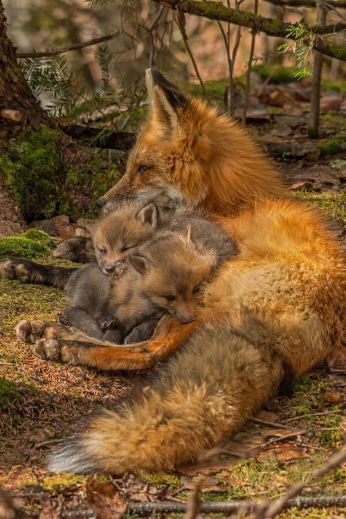 Mother fox is alert and on guard while her kits play all over her, nuzzling her and chasing each other around eventually tiring themselves out they return to the den after nursing. – Elisabeth Statz