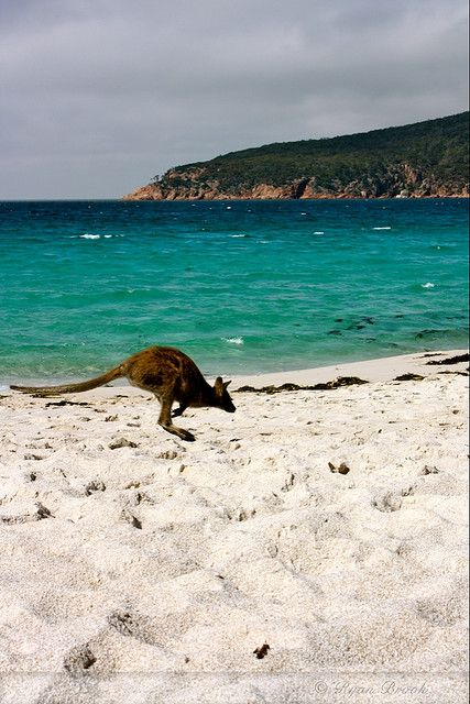 Australia......seeing a kangaroo on the beach is far from an every day event!