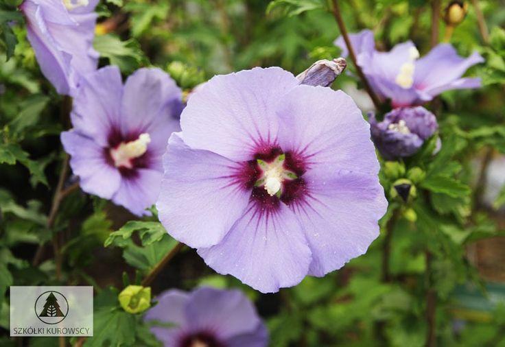 Hibiscus syriacus 'Ultramarine' PBR - Ketmia syryjska 'Ultramarine' PBR