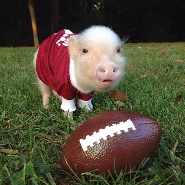 Best 25+ Teacup pigs ideas on Pinterest | Teacup pig, Baby ...