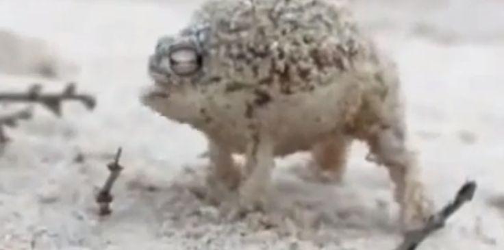 Une drôle de grenouille qui crie comme un ballon qu'on dégonfle