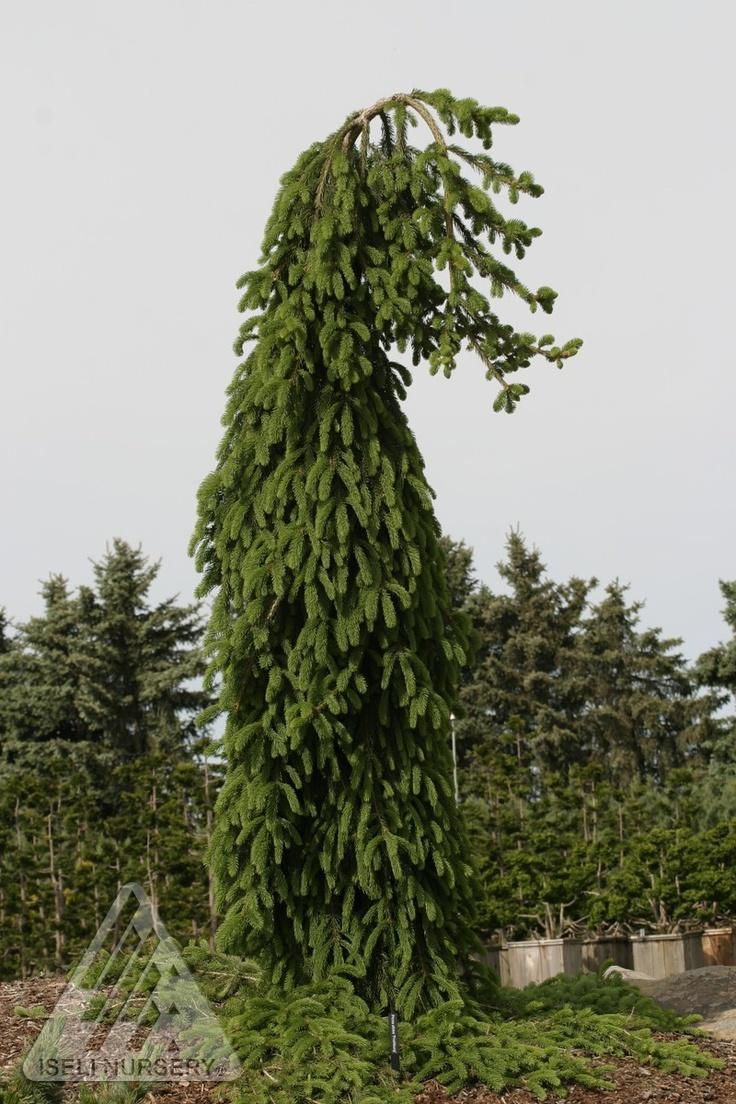 Kigi Nursery - Picea abies ' Frohburg ' Weeping Narrow Norway Spruce, $20.00 (http://www.kiginursery.com/dwarf-miniatures/picea-abies-frohburg-weeping-narrow-norway-spruce/)