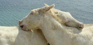 Asinara - Asini bianchi