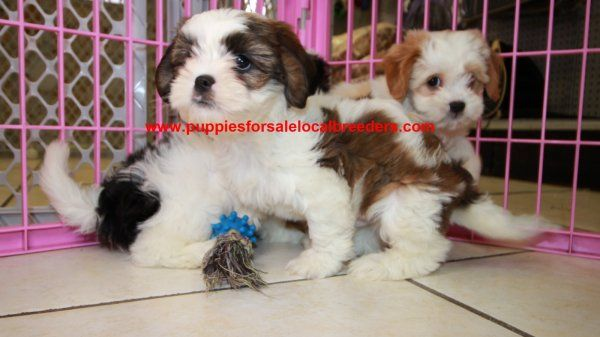 Cavachon Puppies For Sale In Georgia Cavachon Local Dog Breeders