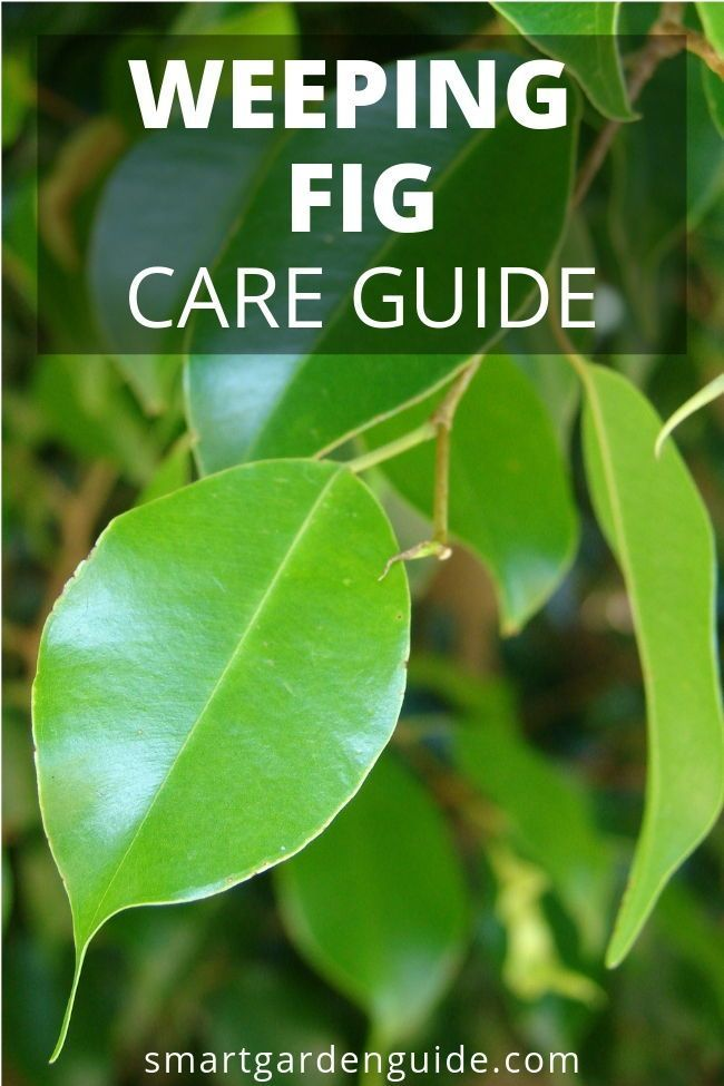 How To Care For A Weeping Fig Ficus Benjamina Weeping Fig