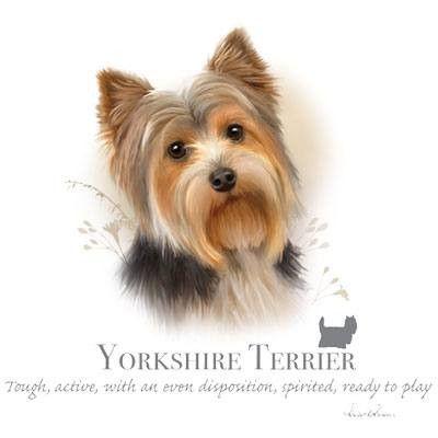 Yorkshire terrier ( light's only )
