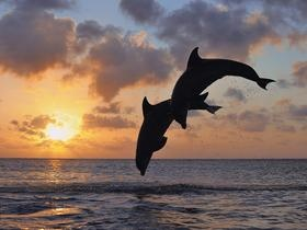 Bottlenose Dolphins Jumping in Sea at Sunset, Roatan, Bay Islands SuperStock