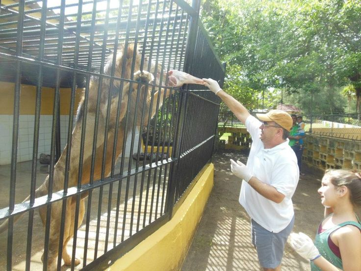 Feeding the lions at Parke Tropikal, a zoo in Curacao.