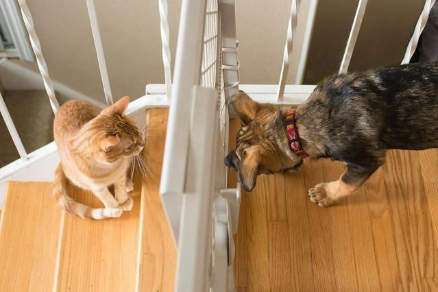 Learn how to properly introduce your dog and cat while keeping everyone safe. These dog and cat introduction steps can help you keep a comfortable, happy home.