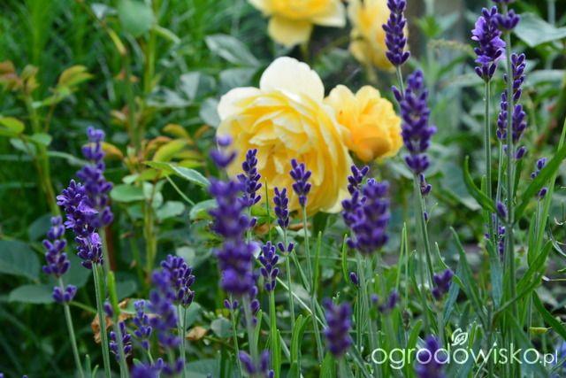 Ogródek Iwony II - strona 248 - Forum ogrodnicze - Ogrodowisko