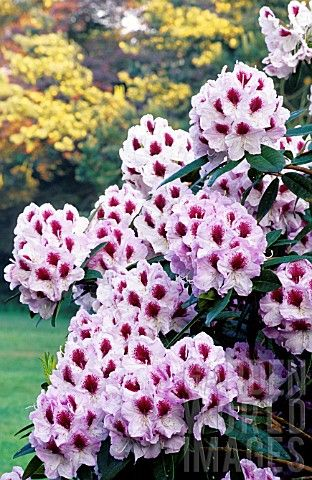 Best Rhododendron Images On Pinterest Beautiful Flowers