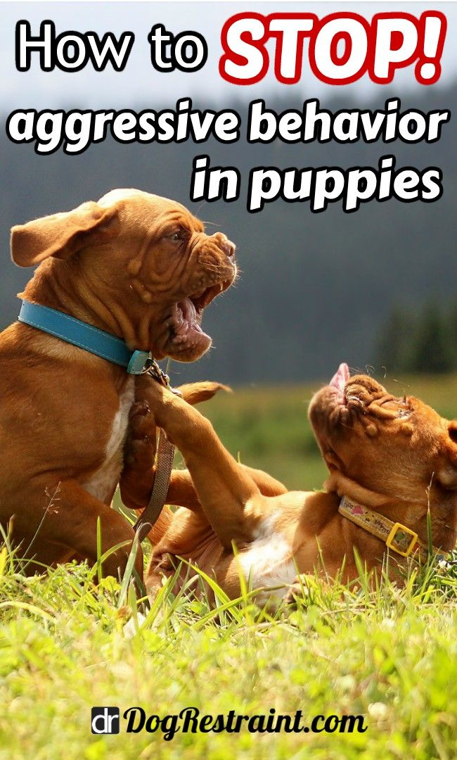 How To Stop Aggressive Behavior In Puppies Dog Training Tips