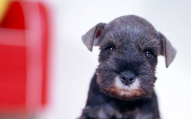 Cute Affenpinscher HD Wallpaper. For more cool wallpapers, visit: www.Hdwallpapersbank.com You can download your favorite HD wallpapers here .. It's free.