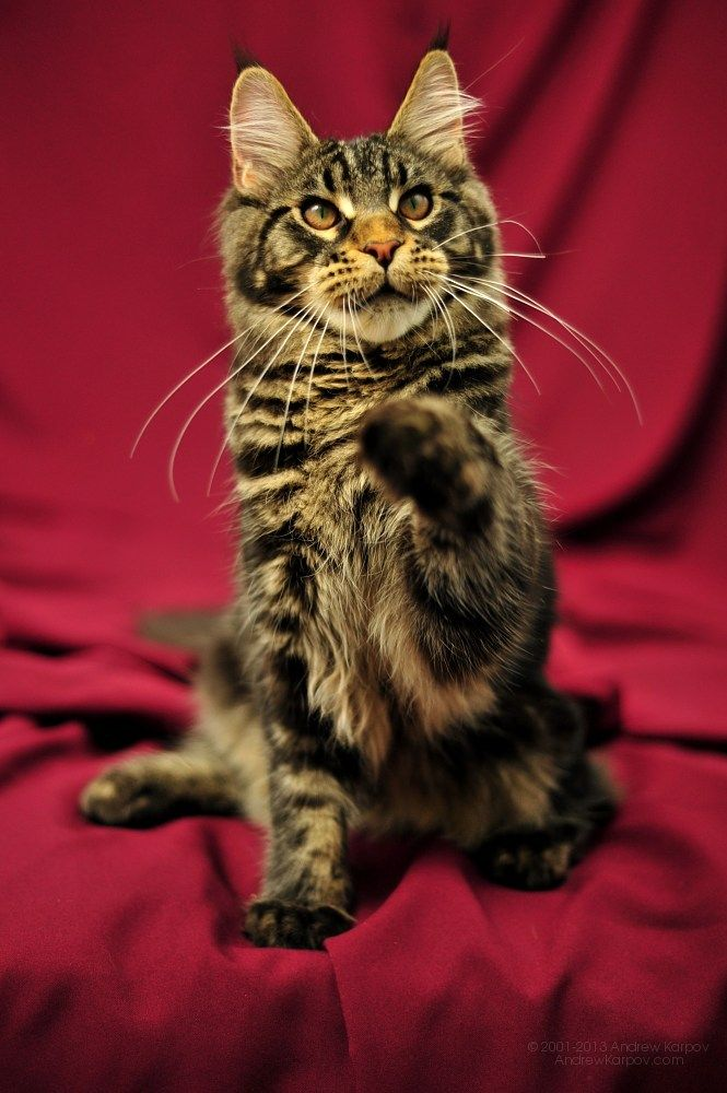 Maine Coon, Black tabby Blotched (n 22). Perfect Cat*UA Odin