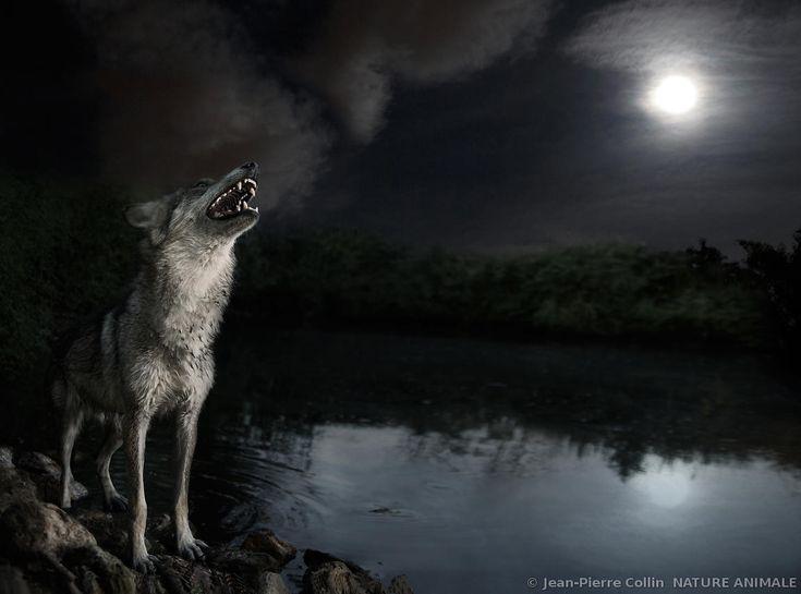 Hurlement du loup et pleine lune