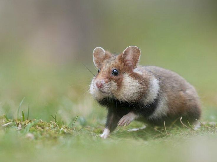 How Long Do Hamsters Live In The Wild