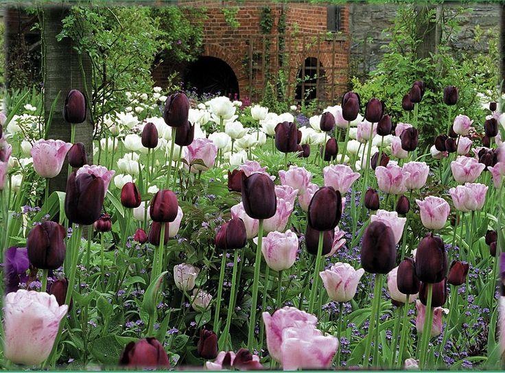 Un giardino di tulipani bianchi, rosa e bordeaux #garden #flowers #tulip #white #pink #purple #burgundy