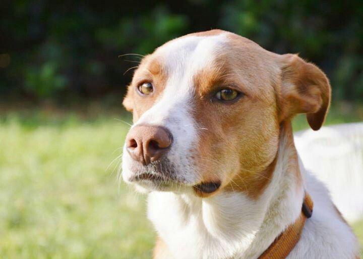 Australian red border collie smooth coat puppy fever pinterest