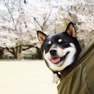 backpackpupBackpacks, Black Shiba, Backpackpup, Dogs, Shiba Inu, Pets, Looks Alike, Animal, Shibainu