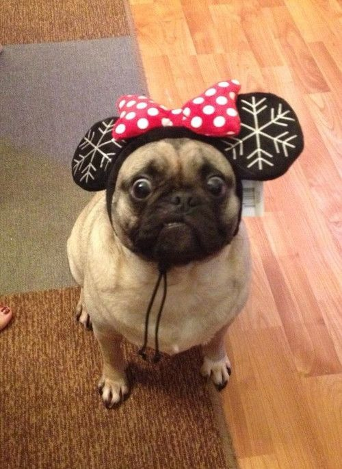 Silly pugs...I get this look a lot. Spaz is not impressed