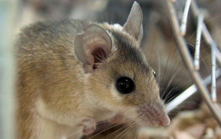 Декоративных мышей в домашних условиях содержат в клетках, стеклянных или пластмассовых вивариях, накрытых сверху решетчатыми металлическими крышками. Крышки необходимы, потому что мышки отлично лазают и прыгают, они могут выбраться из заключения и отправиться в бескрайнее путешествие по квартире. Придется потрудиться, чтобы поймать беглянку.  Жилье домашнему любимцу надо обустроить так, чтобы животному жилось в нем максимально удобно.  Прежде чем принести питомца в дом, необходимо купить…
