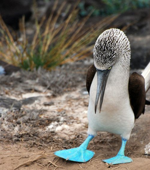 Blue Footed Booby. So cute it almost looks like he is looking at his feet
