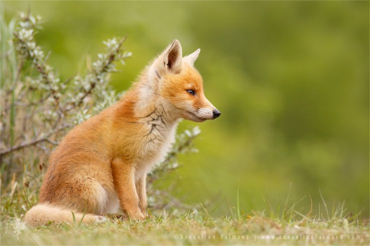 Fox Kit Lost in Thought by thrumyeye on DeviantArt