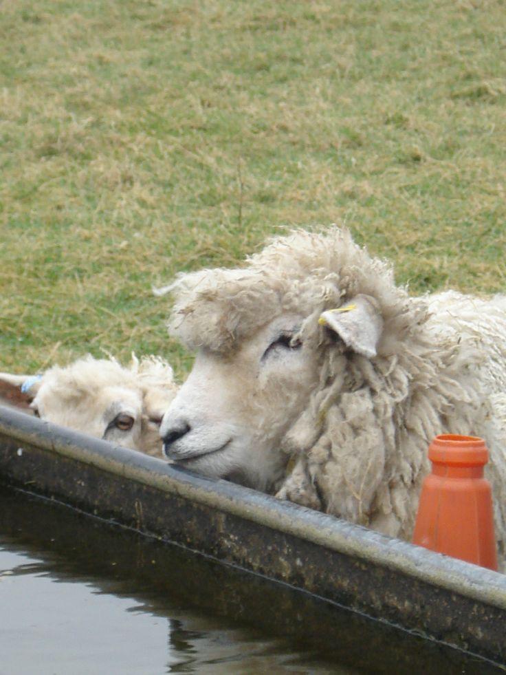 Lambs in Stonhenge