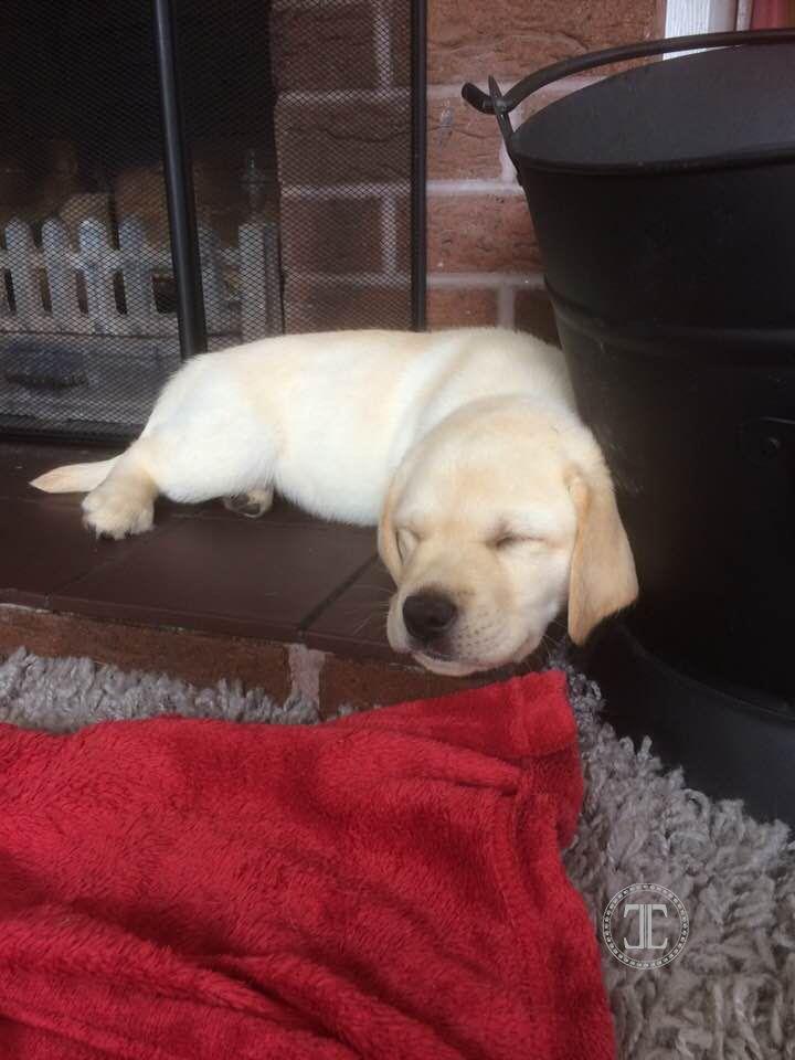 This Is Dougal 11 Weeks Old Labrador Puppy Sleep Cute Labrador Labrador Retriever Puppies