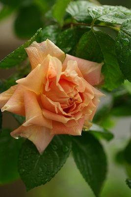 Hybrid Rugosa Rose: Rosa 'Vanguard' (U.S., 1932)