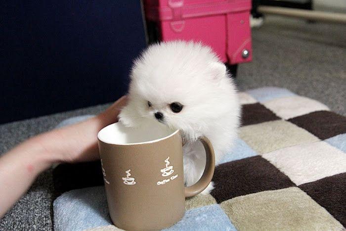 Micro Pomeranian Tiny dogs and puppies