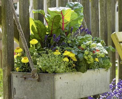 Gemüsegarten in XXS: Mit diesem Blumenkasten können Sie frische Vitamine auf dem Balkon ernten.     1 x Mangold (Beta vulgaris 'Feurio'     2 x Lavendel (Lavandula angustifolia)     1 x Tomate (Lycopersicon 'Tasty Tumbler')     2 x Thymian (Thymus vulgaris)     2 x gelbe Strohblume (Helichrysum bracteatum)     1 x Basilikum (Ocimum basilicum)