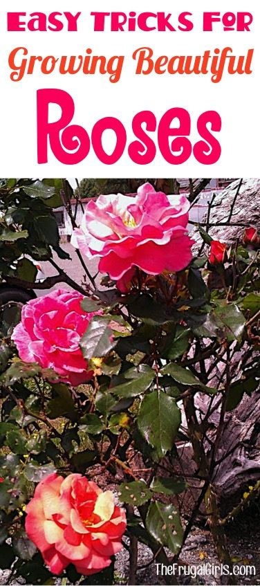 Growing Roses Tips!  How to Grow your Best Roses this Year!  Everything you need to know about Rose Gardening, including a HUGE list of tips and tricks that will yield the most beautiful blooms in your garden! | TheFrugalGirls.com