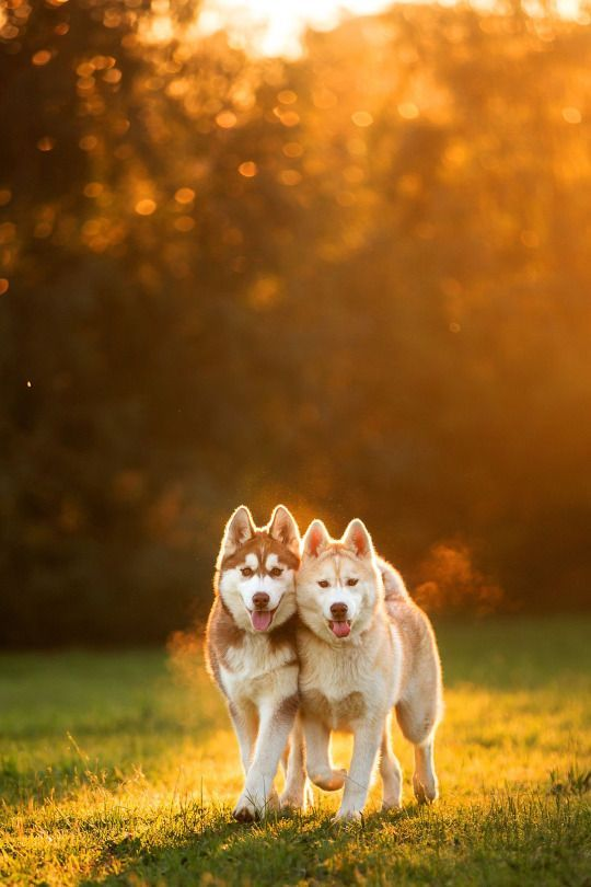 When you're the best of friends, every day is golden! #dogs #doglovers #siberianhuskies