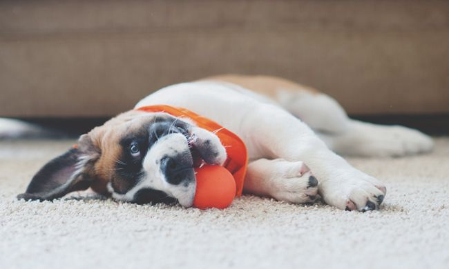 Awesome Top 5 Tips For New Doggy Pet Parents Dog Boredom