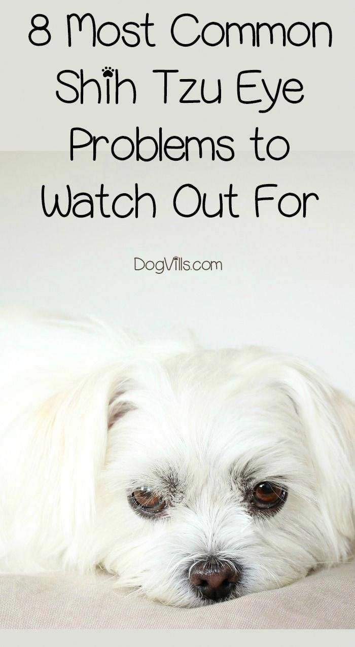 8 Most Common Shih Tzu Eye Problems To Watch Out For Doghealth