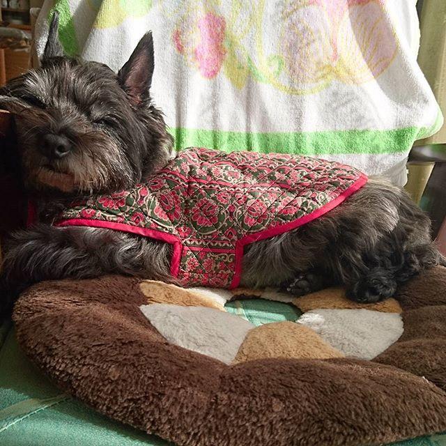 i miss you.... #cairnterrier #cairn #ケアーンテリア #ケアーン #テリア #miquerida #teechodemenos #imissyou #愛犬