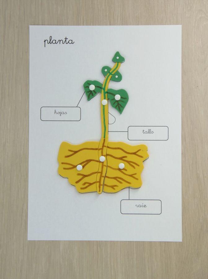 Partes de la planta --------- Parts of the plant (Spanish)
